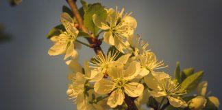 Цветы вишни освещенные солнцем на закате
