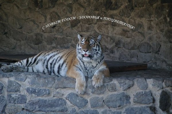 Тигр поздравляющий