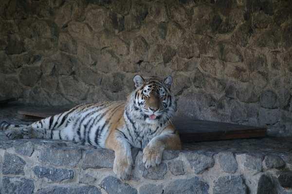 Тигр ехидничающий