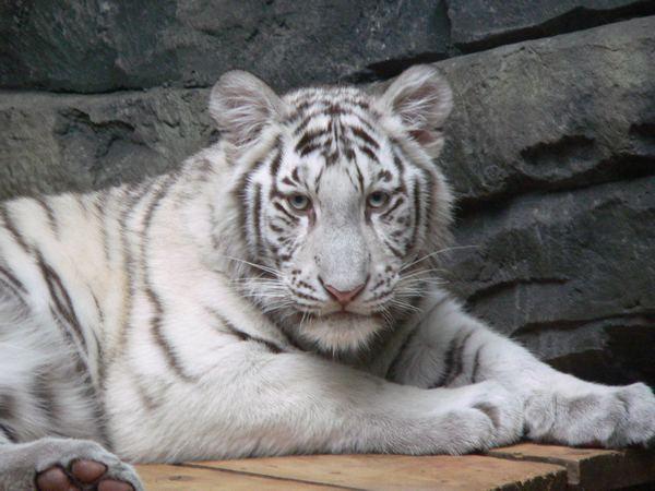 Белый тигр - очень редкий