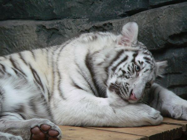 Белый тигр спящий