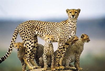 Говард Баффет: письмена фотографа на шкуре гепарда