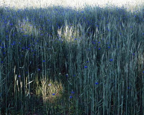 Поле васильков. 2008