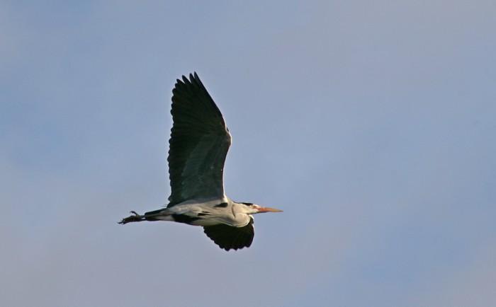 Дикие птицы в полете