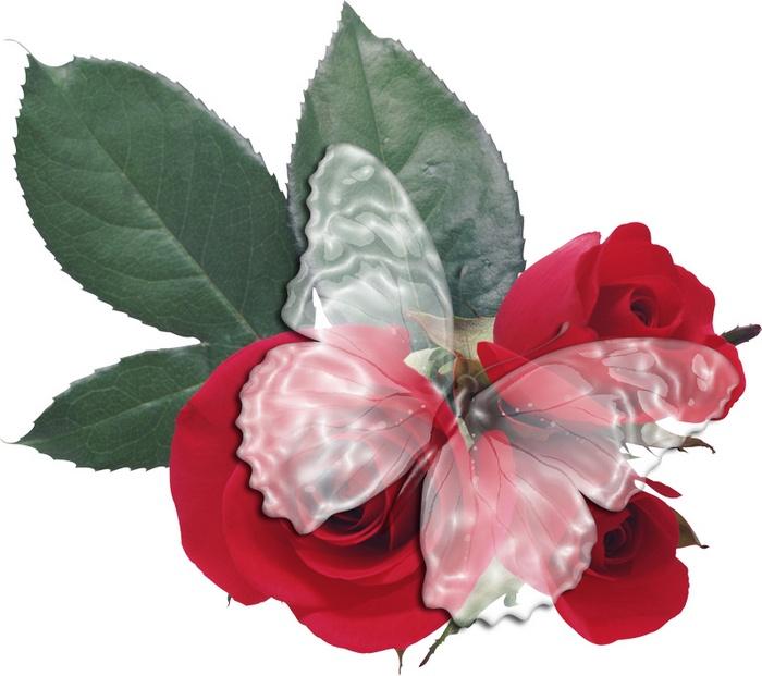 Стеклянная бабочка на цветке живой розы