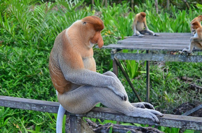 Пробоскис (лат. Nasalis larvatus) или носатая обезьяна