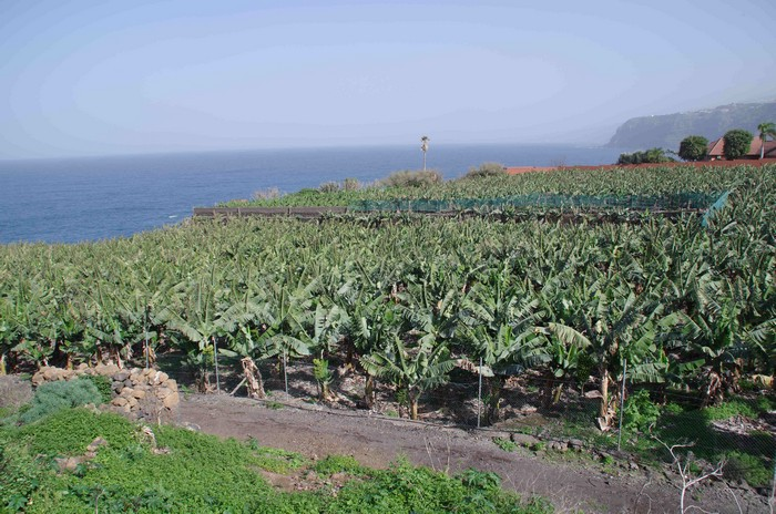 Банановые рощи по пути к Эль Бойюйо