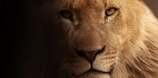 Лев. Портрет