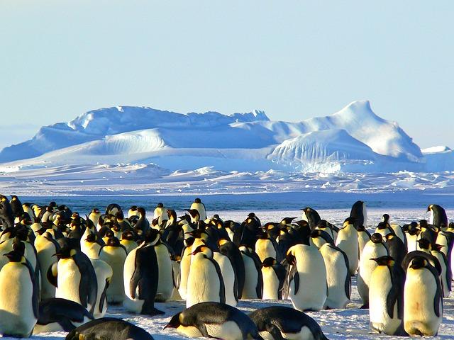 Императорские пингвины. Антарктида.