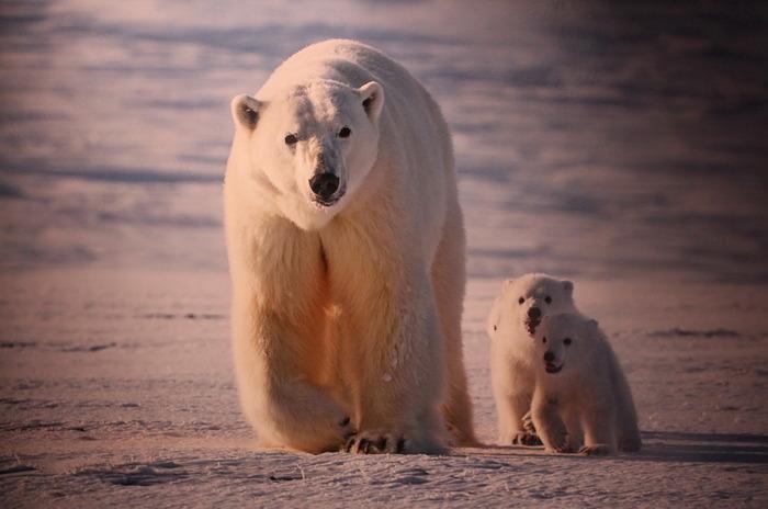 «Первозданная Россия» - медведи