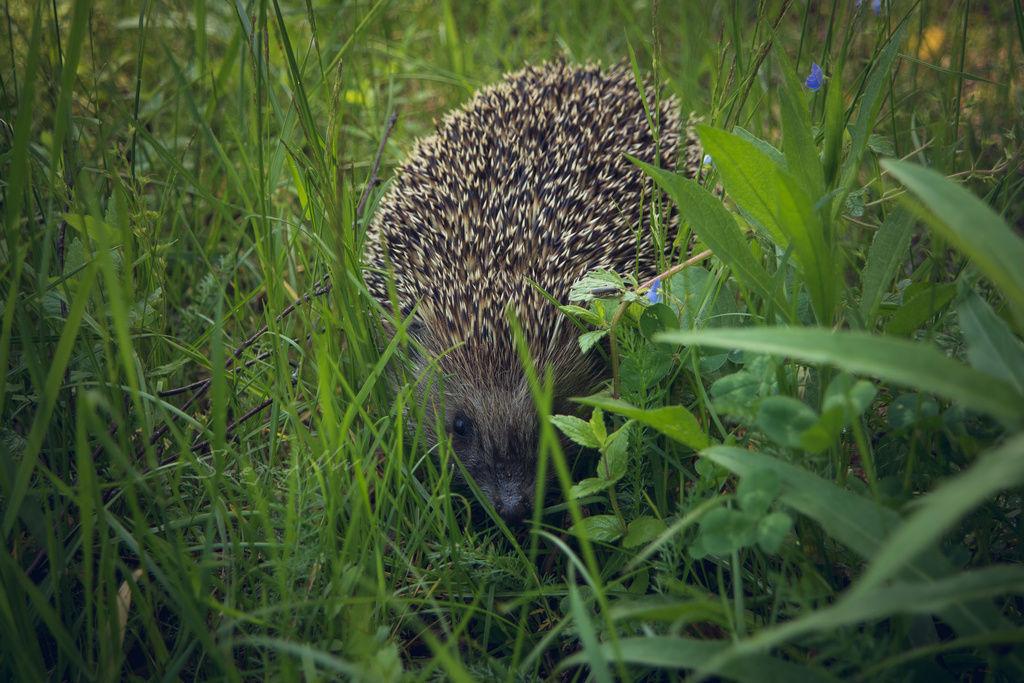 Ежик в траве