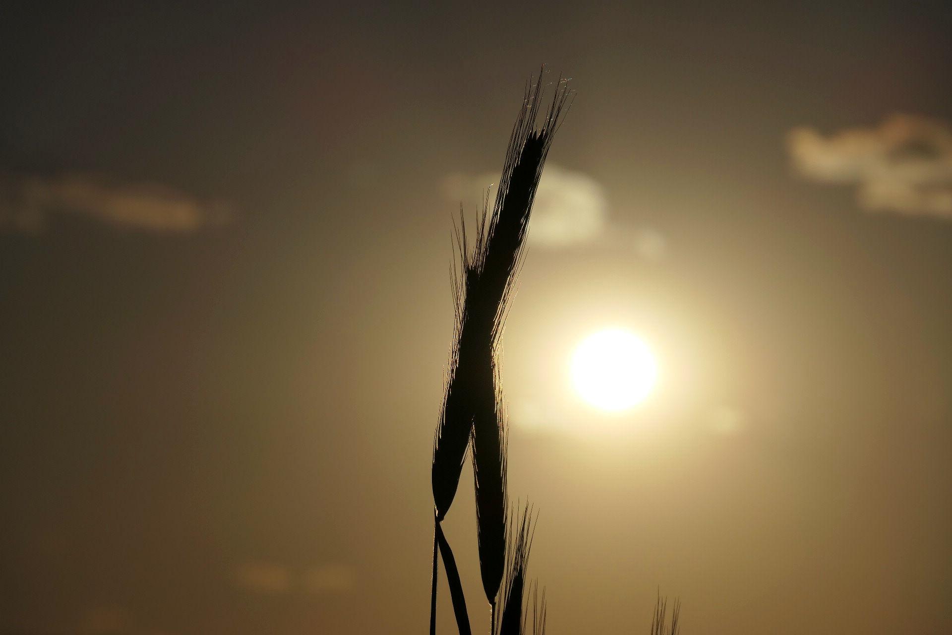 Колосья в солнечных лучах
