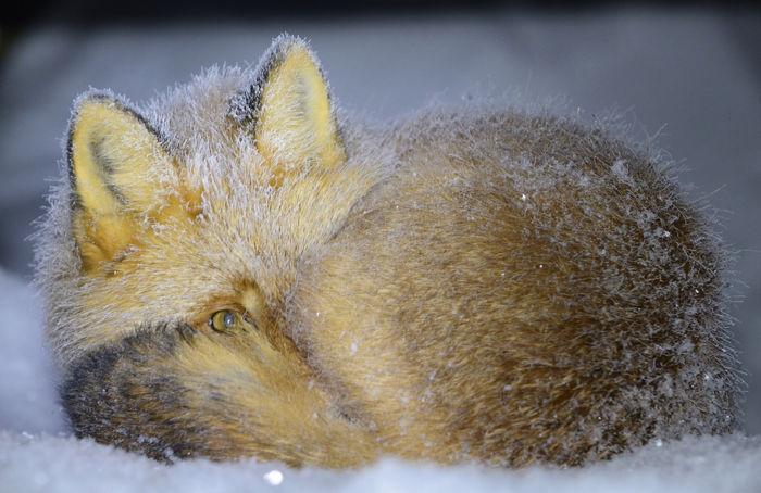 Алексей Маслов. Сонный лис.