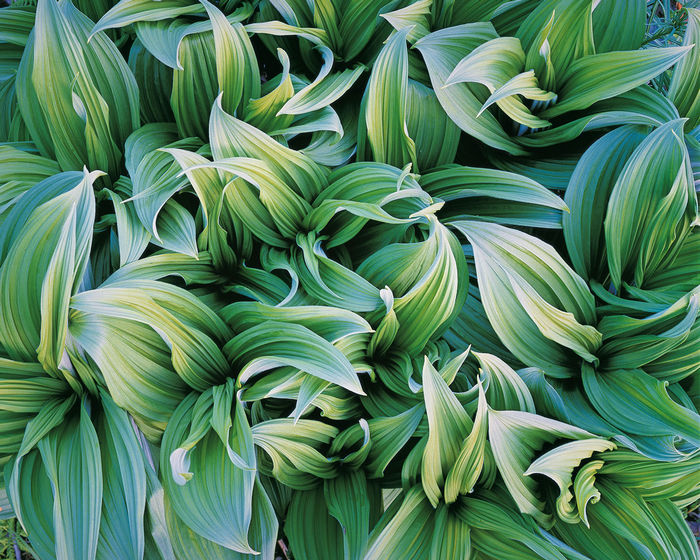 Christopher Burkett Green Veratrum, Alaska, 1993