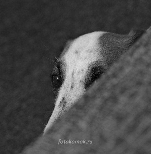 Черно-белое фото собаки